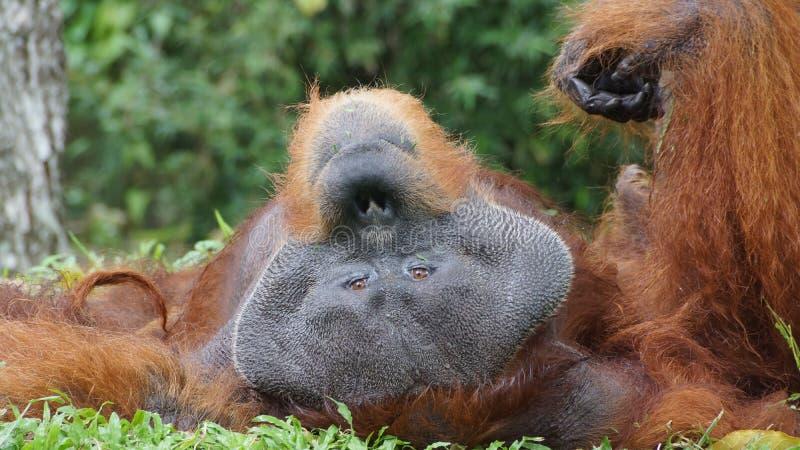 Homem alfa do orangotango Utan que encontra-se para baixo fotos de stock royalty free