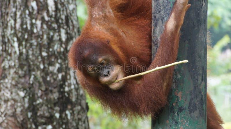 Homem alfa do orangotango Utan que encontra-se para baixo fotografia de stock royalty free