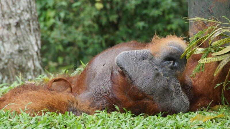 Homem alfa do orangotango Utan que encontra-se para baixo fotos de stock