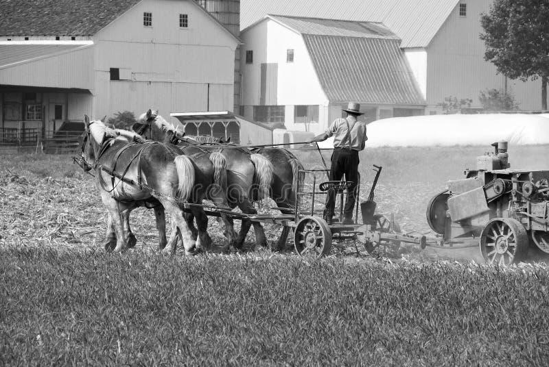Homem Amish que colhe o campo fotografia de stock