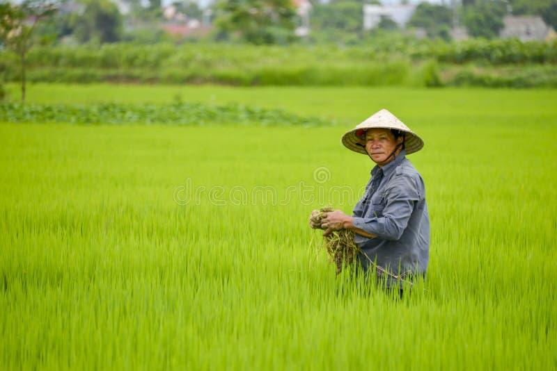 Homem asiático no campo do arroz fotografia de stock
