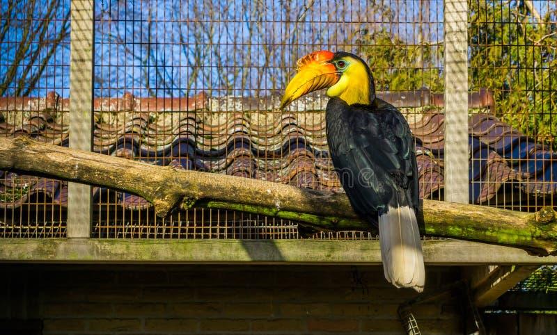 Homem bonito hornbill enrugado que senta-se em um ramo, pássaro tropical colorido de Ásia, specie animal posto em perigo foto de stock