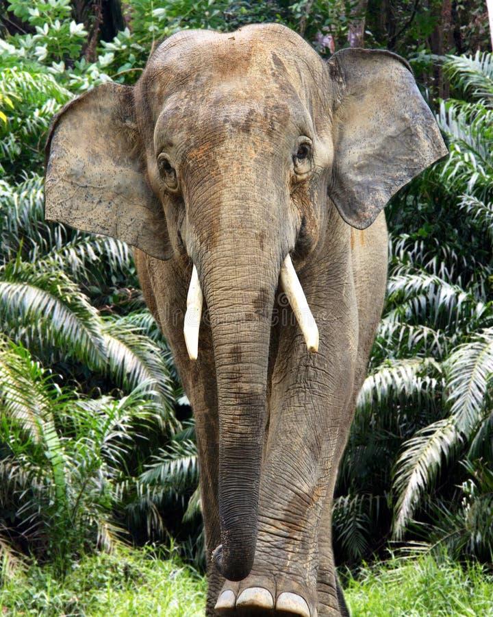 Homem Bornéu do elefante fotografia de stock