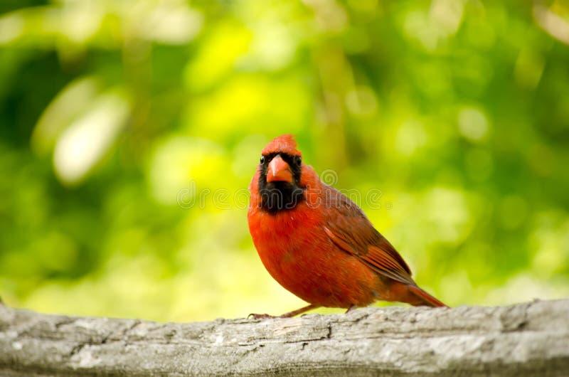 Homem cardinal do norte imagens de stock
