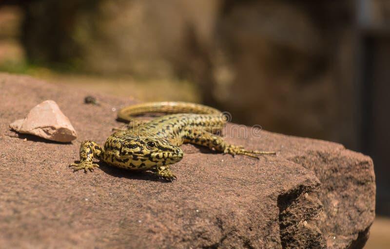 Homem Catalan do lagarto da parede que toma sol na pedra lisa imagem de stock