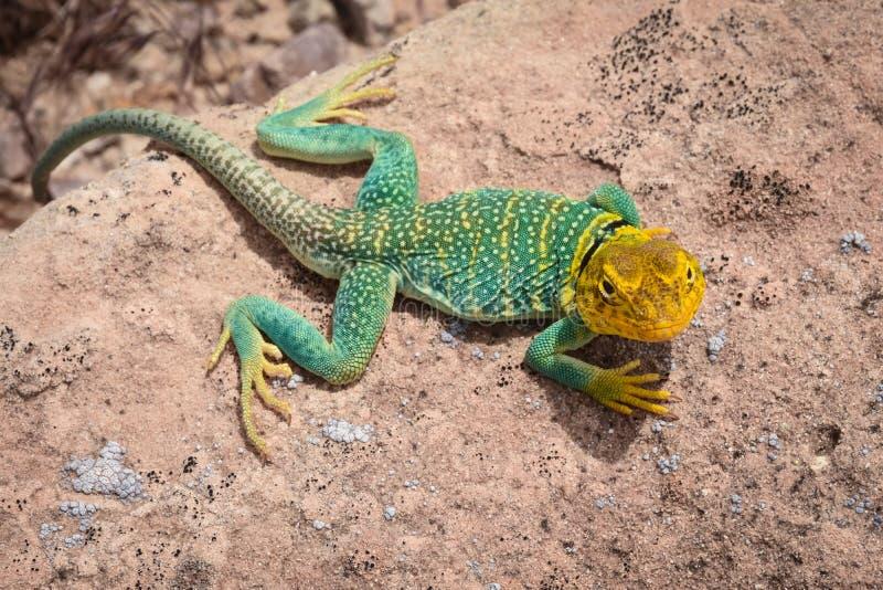Homem colocado um colar ocidental do lagarto perto de Moab Utá fotografia de stock royalty free