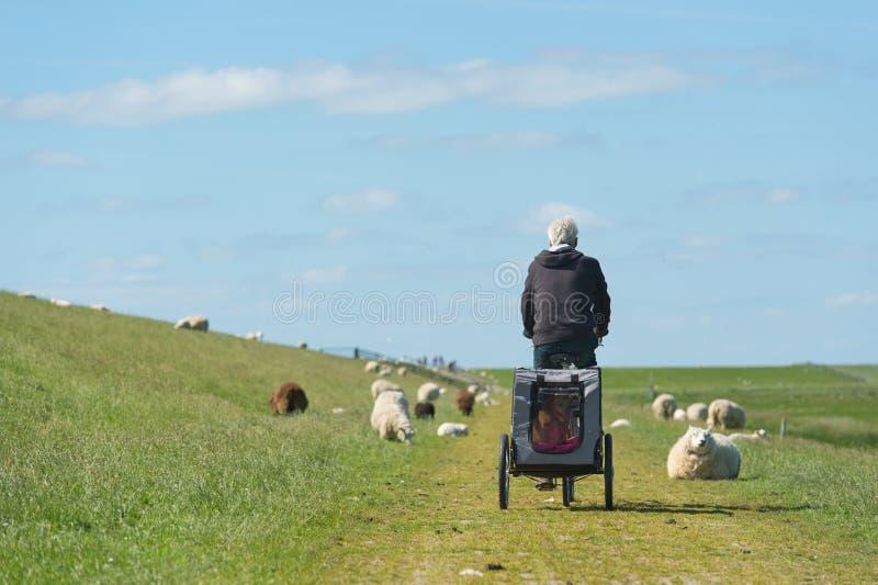 Homem com a bicicleta no dique holandês com carneiros fotografia de stock royalty free