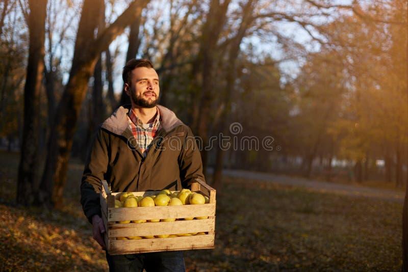 Homem com a caixa de madeira de maçãs douradas maduras amarelas na exploração agrícola do pomar Cultivador que colhe no jardim qu foto de stock