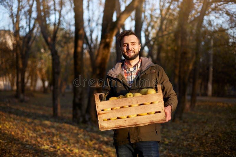 Homem com a caixa de madeira de maçãs douradas maduras amarelas na exploração agrícola do pomar O cultivador que colhe no jardim  foto de stock