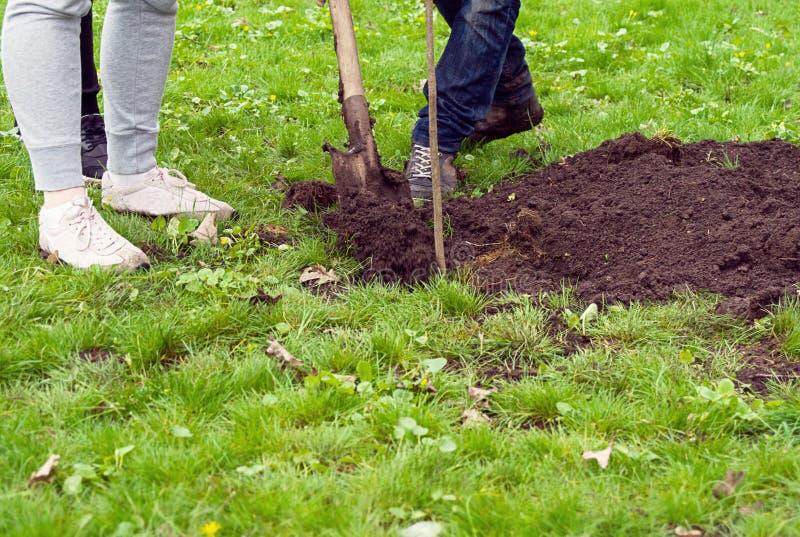 Homem com uma pá que escava um furo para plantar uma árvore no parque no gramado da grama verde fotografia de stock