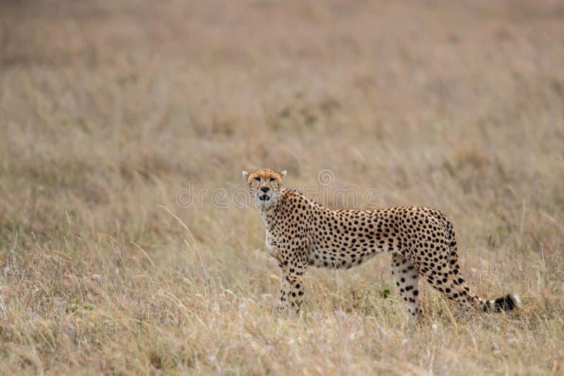 Homem da chita em Masai Mara fotos de stock royalty free