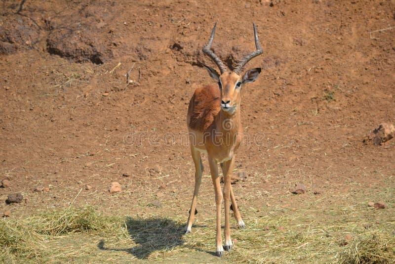 Homem da impala fotografia de stock