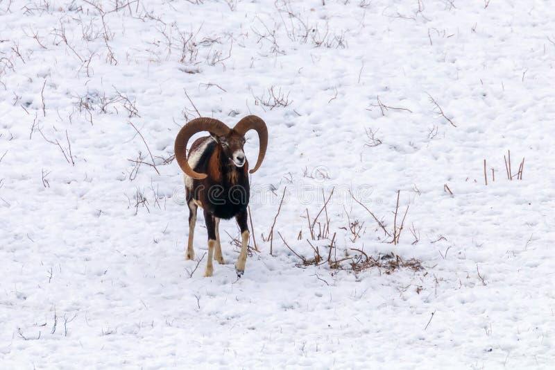 Homem de Mouflon no musimon selvagem do ovis da natureza do inverno foto de stock royalty free