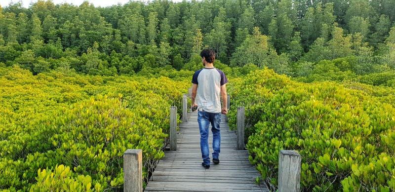 Homem de passeio só no caminho de madeira ao longo da floresta nova dos manguezais e do fundo grande de muitas árvores fotografia de stock royalty free