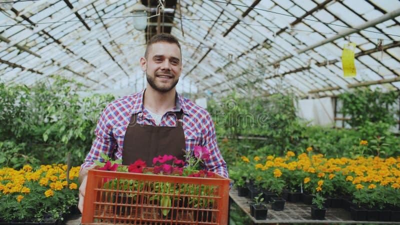 Homem de sorriso feliz no avental que guarda a caixa com flores que anda em sua estufa imagens de stock