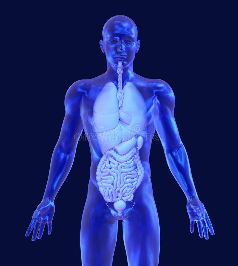 Homem de vidro com órgãos internos ilustração do vetor