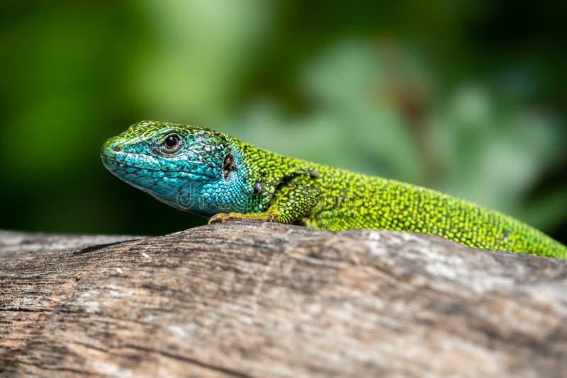 Homem de viridis do Lacerta do lagarto verde em um tronco de árvore imagens de stock royalty free
