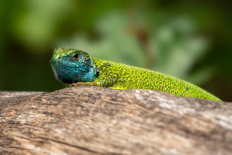 Homem de viridis do Lacerta do lagarto verde em um tronco de árvore fotos de stock royalty free