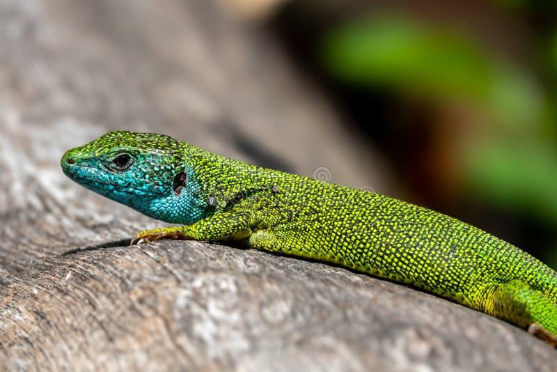 Homem de viridis do Lacerta do lagarto verde em um tronco de árvore imagens de stock