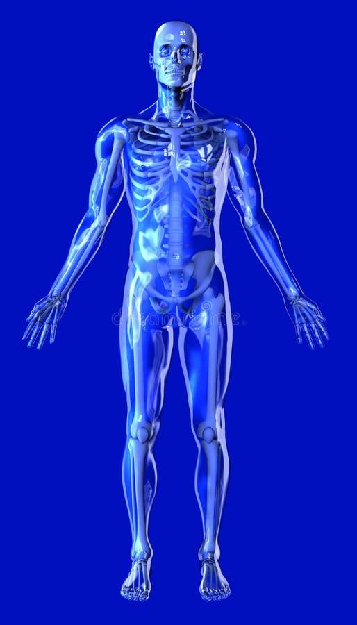 Homem desobstruído com esqueleto - inclui o trajeto de grampeamento ilustração do vetor
