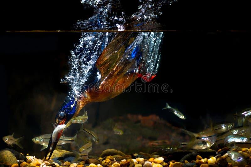 """homem do †Azul-orelhudo do martinho pescatore """" foto de stock"""