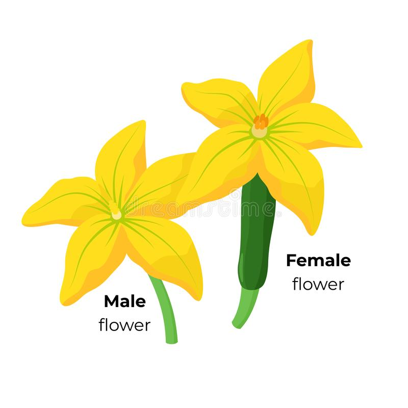 Homem do abobrinha e flor f?mea isolados no fundo branco Ilustra??o bot?nica das flores da polpa amarela no plano ilustração royalty free