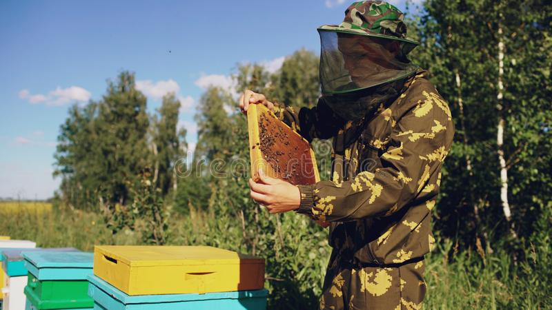 Homem do apicultor que verifica o quadro de madeira antes de colher o mel no apiário foto de stock