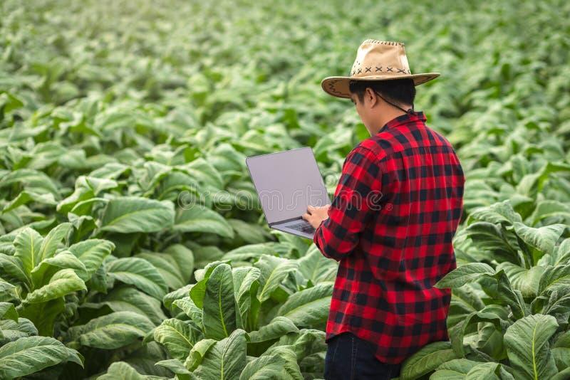 Homem do fazendeiro com posição no cigarro do campo, conceito do portátil de examinar o crescimento do cigarro imagens de stock