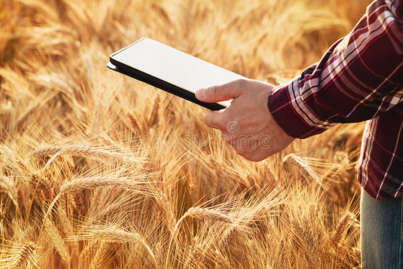Homem do fazendeiro no campo de cereal com tabuleta digital à disposição O uso da informática moderna para o cálculo e o planeame fotografia de stock