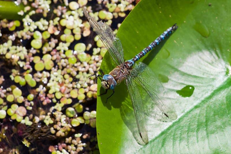 Homem do imperator azul europeu de Anax da libélula do imperador que descansa em uma folha do lírio de água amarela imagens de stock royalty free