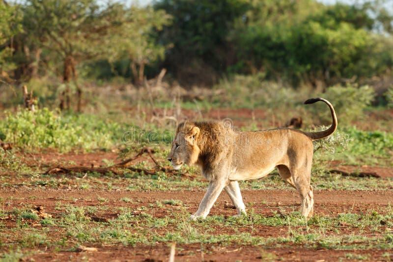 Homem do leão em África do Sul imagens de stock