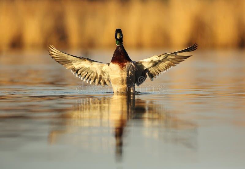 Homem do voo do pato selvagem imagem de stock royalty free