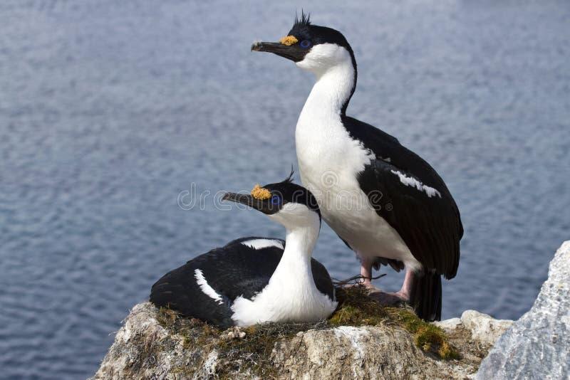 Homem e cigarro picado antártico de olhos azuis fêmea no ninho no colo foto de stock