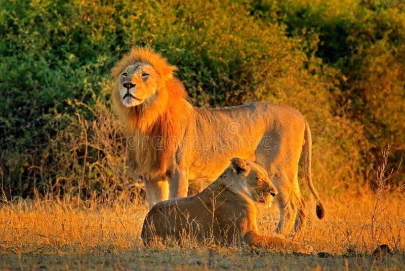Homem e fêmea, nivelando o sol alaranjado, durante o por do sol, parque nacional de Chobe, Botswana, África Leão africano, bleyen fotografia de stock