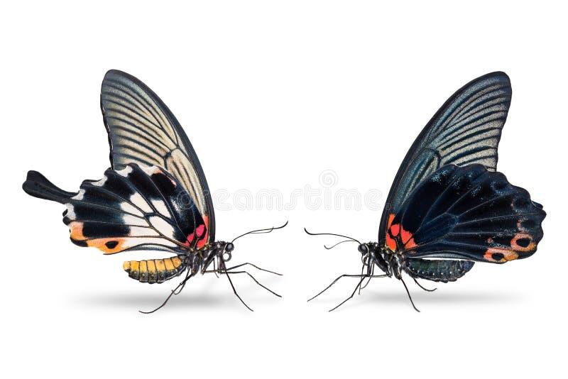 Homem e grande borboleta fêmea do memnon de Papilio do mórmon foto de stock