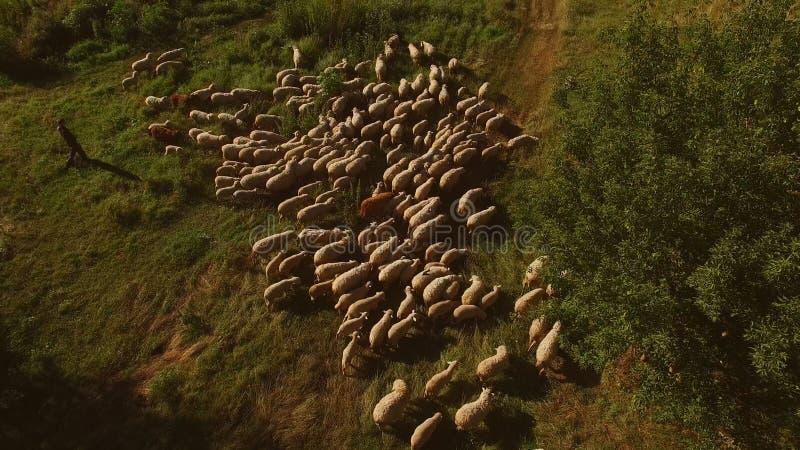 Homem e grupo de carneiros fotografia de stock