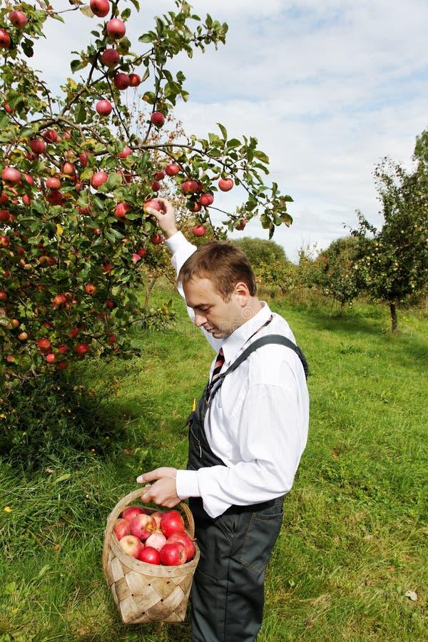 Homem e maçãs. imagens de stock