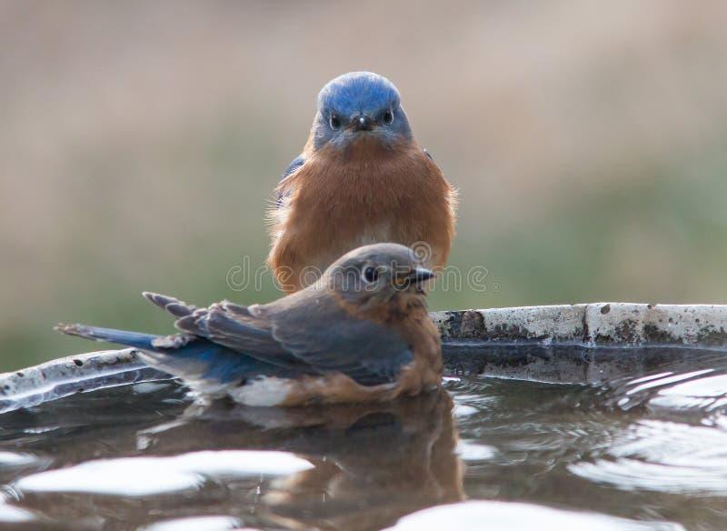 Homem e pássaros azuis fêmeas fotografia de stock royalty free