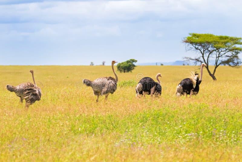 Homem e pássaros fêmeas da avestruz que andam na pastagem aberta no parque nacional de Serengeti em Tanzânia, East Africa imagem de stock