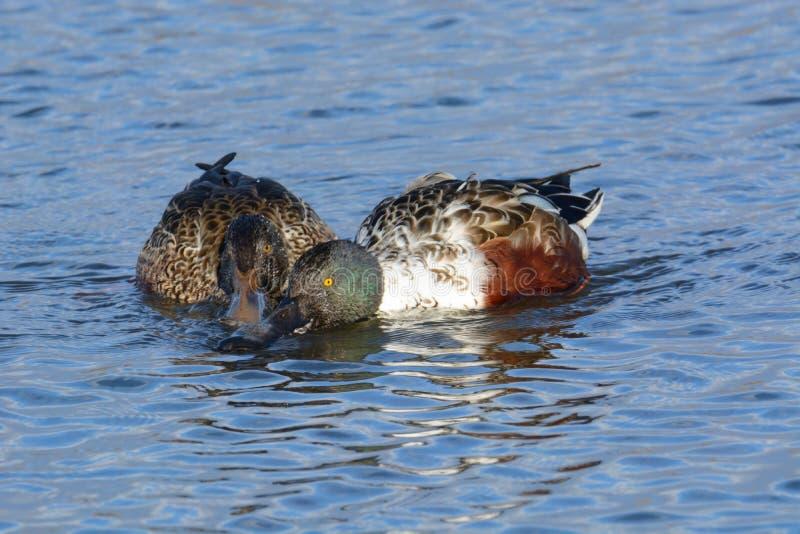 Homem e patos fêmeas do pato-colhereiro do norte fotografia de stock