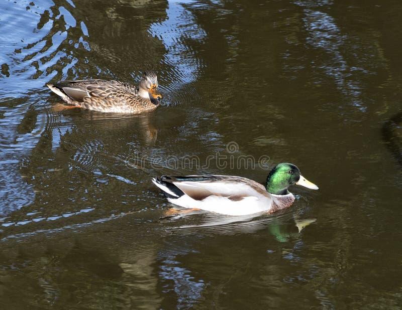 Homem e patos fêmeas do pato selvagem que nadam em um canal em Amsterdão fotografia de stock royalty free