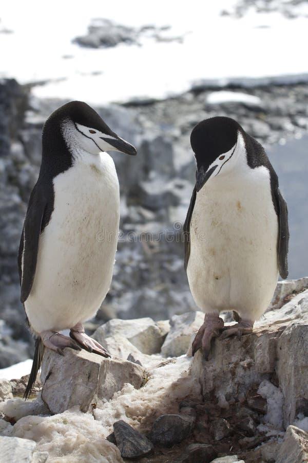 Homem e pinguim antártico fêmea Chinstrap ou posição perto do fotos de stock