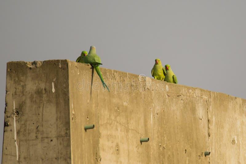 Homem e Rose Ringed Parakeets fêmea na etapa fotos de stock
