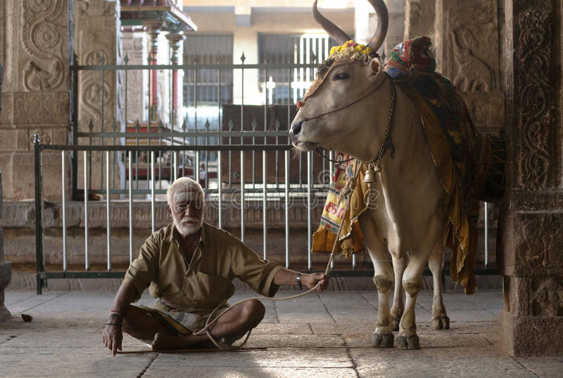 Homem Hindu e vaca santamente fotografia de stock