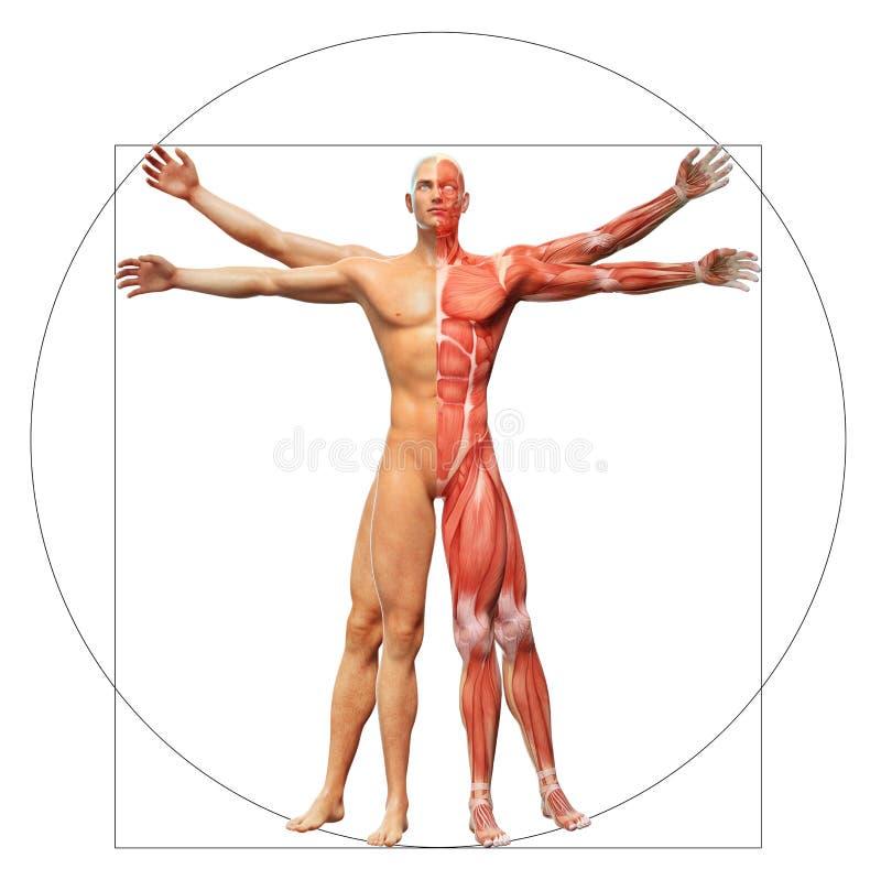 Homem humano de Vitruvian da anatomia ilustração royalty free
