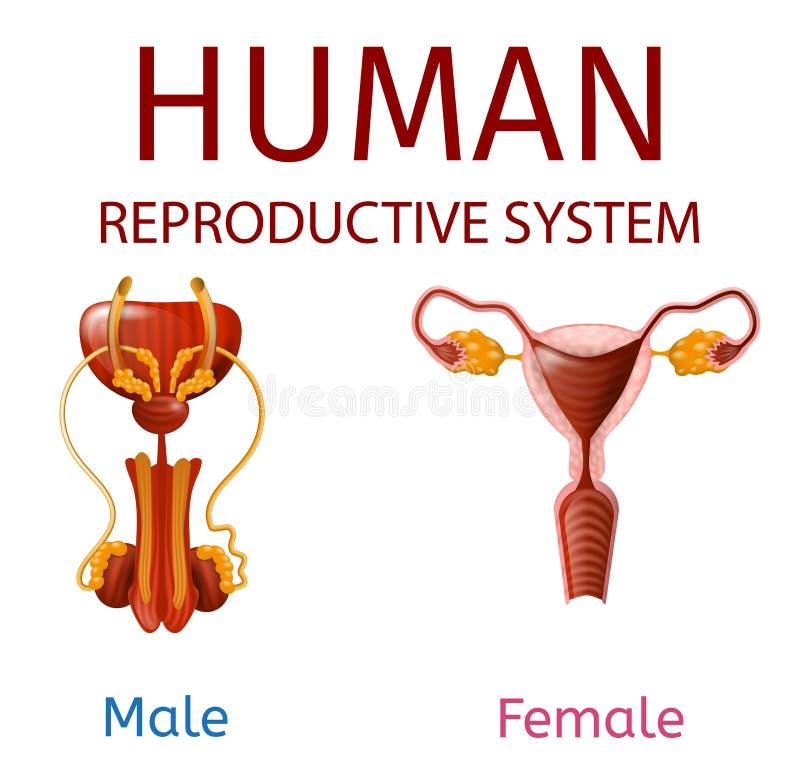 Homem humano do sistema reprodutivo e genitais fêmeas ilustração do vetor
