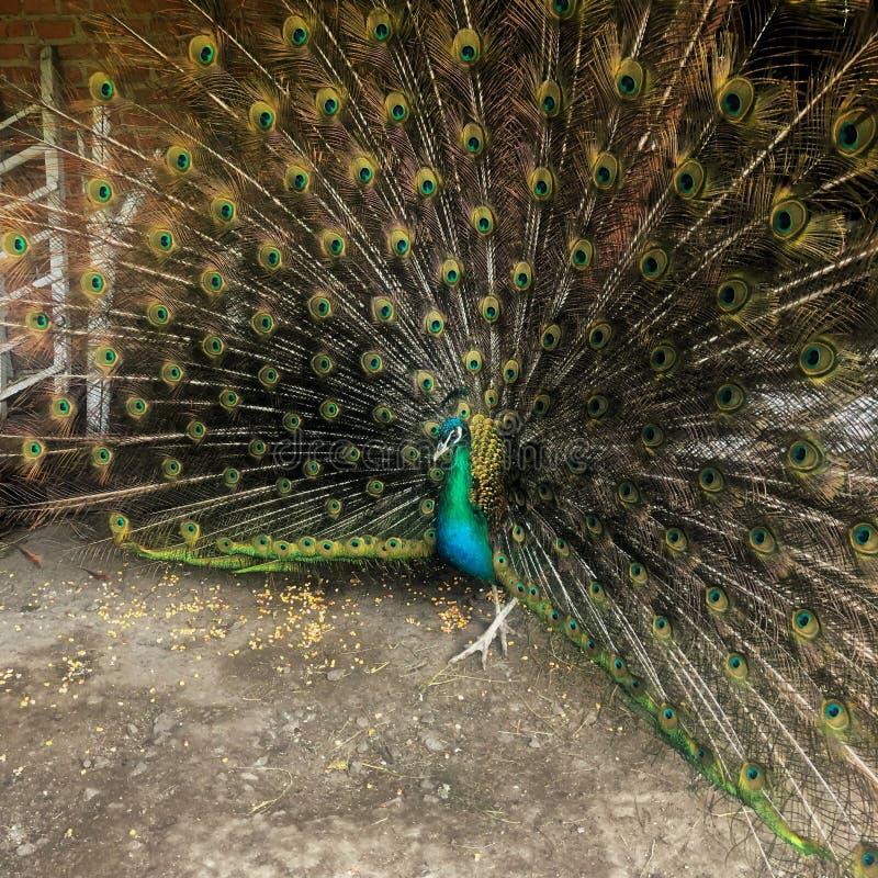 homem indiano divertido, Peacock foto de stock