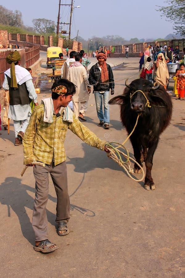 Homem local que anda com o búfalo de água na rua de Fatehpur S fotografia de stock royalty free