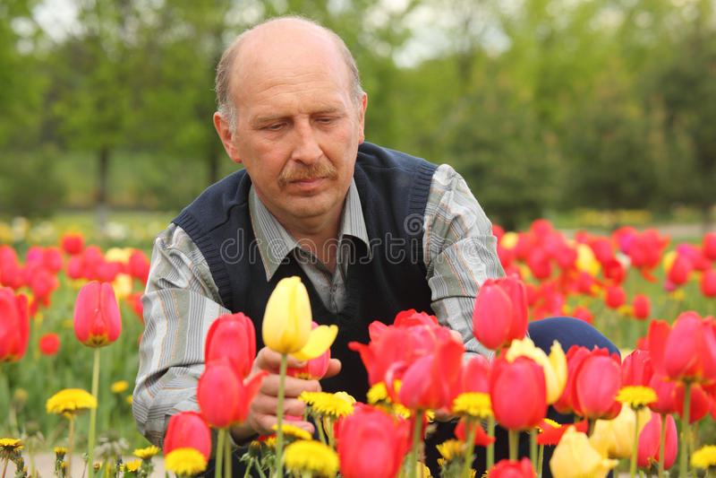 Homem maduro entre tulips de florescência imagem de stock royalty free