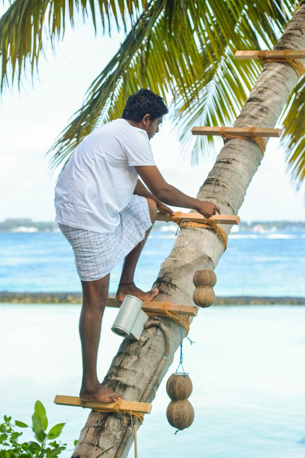 Homem maldivo que escala até a palmeira para tomar a água do coco fotos de stock